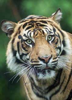 Thomas the tiger by Rita Petita