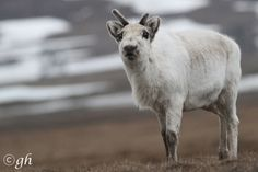 """I know we're all pretty down rn so here, have some cute pics of svalbard reindeer sokerikeiju: """" steinbit: """" it's the smallest subspecies of reindeer on the planet and it loves you the svalbard. Winter Cardigan, Flora And Fauna, Four Legged, Arctic, Cute Pictures, Survival, Animals, January 21, Capoeira"""