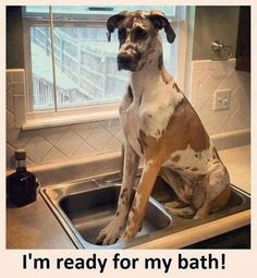 Big dog, in a little sink. Funny animals : theCHIVE