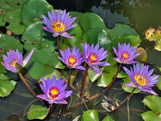 Home Remedies Nymphaea caerulea can prevent acne and pimples breakouts Wedding Invitations Without B Lotus Tea, Water Garden Plants, Dragon Garden, Blue Lotus Flower, Acne And Pimples, Water Lilies, Planting Flowers, Flowering Plants, Perennials