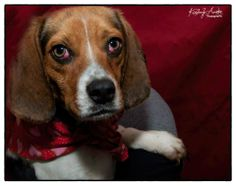"""URGENT!! 1 year old female Beagle mix Pen 4** *Pink globs in eyes are a relatively harmless condition called """"cherry eye"""", for which minor surgery is recommended but not required. Please adopt or rescue by 345pm on 02/25/2014*** 1100 McKay Place, Lillington, NC 27546  (910) 814-2952 http://harnettanimalcontrol.com/"""
