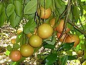 Grapefruit - Wikipedia