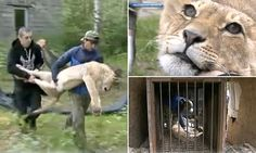 This must STOP  Lions found beaten and starving in a Russian HOTEL
