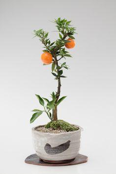 Small Bonsai of Mandarin Orange Tree 姫ミカン