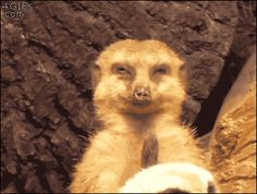 MUST SEE! A meerkat catches himself falling asleep