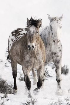 Appaloosa beauties