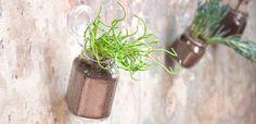 Coltivare la Crassula. Le foglie triangolari, verde chiaro, lunghe pochi millimetri; i fusti brillanti che tendono a ricadere con il tempo; decine di infiorescenze minuscole, giallo-verde: la Crassula muscosa è una succulenta unica e riconoscibilissima. Se lasciata libera, cresce rapidissimamente e tende a essere piuttosto invadente.