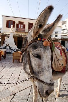 Hydra island--- Donkeys and mules seem to be the only trustworthy transportation tools at Hydra. They are widely used to carry anything, from people to shopping to construction matterials etc. You can find no cars. Santorini, The Donkey, Greece Islands, Greece Travel, Zebras, Crete, Beautiful Creatures, Pet Birds, Cute Animals