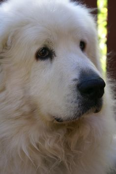 Great Pyrenees.  Great Dogs. Yukon.
