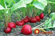 radish in the garden 2 Edible Plants, Garden Seeds, Grapefruit, Garden Design, Home And Garden, Vegetables, Food, Gardening, News