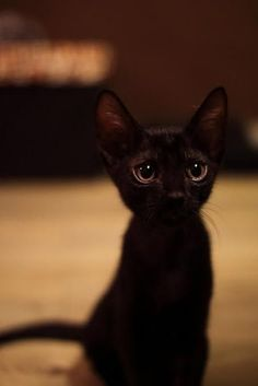 Cute Kittens Black Cat Wallpaper Added on , Tagged : Black Cat Cute Kittens, at Cute Kittens Pictures Cute Kittens, Cats And Kittens, Siamese Cats, Beautiful Cats, Animals Beautiful, Cute Baby Animals, Funny Animals, Photo Chat, Tier Fotos