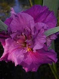 LA Cyclamint Iris, Pond Plants, Water Fountains, Ponds, Hibiscus, Garden Ideas, Purple, Flowers, Water Sources