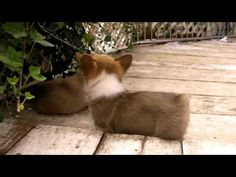 Corgi puppies @Tracy Chou @Leslie Kincaid