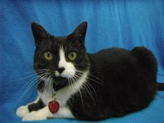 Adopt  Bodhi @Coon Rapids MN Humane Society. She is 12 yrs, spayed, fully vetted. Loves brushing and laps!