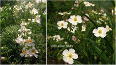 Petra Rosso' Garden. White flower bed. Schizanthus & helianthemum. Spring