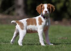 Brittany Spaniel Pup ~ Classic Look Cute Puppies, Cute Dogs, Dogs And Puppies, Doggies, Brittney Spaniel, Brittany Spaniel Puppies, The Lone Ranger, Beautiful Dogs, Beautiful Freckles