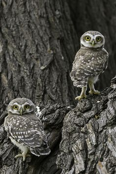 Little Spotted Owls