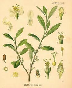 Ligustrum vulgare