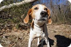 Richmond, VA - Foxhound. Meet Lottie, a dog for adoption. http://www.adoptapet.com/pet/12331386-richmond-virginia-foxhound