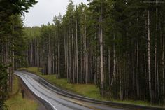 Road and Lodgepole Pines in YNP: A rain-wetted road winds through the Lodgepole Pines in Yellowstone National Park. While the roads in the park are currently in good condition, vehicle travel can be dangerous. Sharp roadside drop-offs become an even greater challenge when approaching motorists (some in large motorhomes) are looking at sites other than the 2-lane roadway.   For more images with commentary visit us at www.The-Digital-Picture.com/gallery/