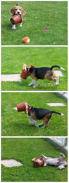 """who needs toys when you got a flower pot?"" ~ Dog Shaming shame - Beagle"