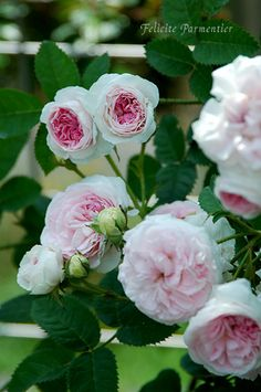 Felicite Parmentier (Alba) Before 1867. This charming rose produces clusters of very double pale pink flowers, like exquisite little swirly pompons.. Deliciously perfumed & great for a cottage garden. Grows 4-5 feet tall. A good choice for hot, dry climates. Image source: http://www.nana-neco.com/rose-index/Felicite_Parmentier.htm