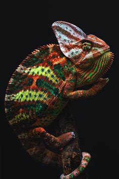 wavemotions: Yemen chameleon
