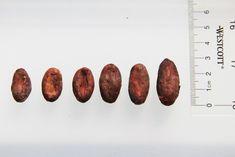 chocolate bean cacao bean size bean to bar chocolate