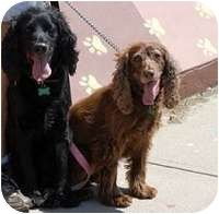 ★12/3/14 STILL LISTED★Denver, CO ★SWEET, SWEET DOGS!!★ #BondedPair ~ Cocker Spaniel. Meet Susie & Buster, a senior brother and sister who have lived inseparably in MaxFund no-kill shelter for over 2 years! catsanddogs@maxfund.org