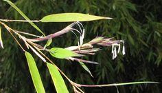 Floraison Phyllostachys Aureosulcata Spectabilis