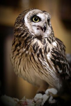 Short Eared Owl (Asio flammeus), medium-sized owl of open grasslands in many parts of the world.