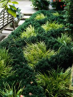 Plant a Knot Garden! Here, a golden sedge is a stunning contrast to dark green boxwood.