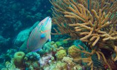 "If present trends continue, the study said, coral reefs in the Caribbean will ""virtually disappear"