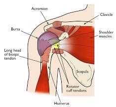 """Résultat de recherche d'images pour """"rotator cuff muscles"""""""