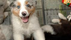 Study: Classical music de-stresses dogs - CBS News