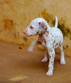 dalmatian pup-I want! Puppies And Kitties, Cute Puppies, Dalmatian Puppies, Doggies, Spotted Dog, Dog Grooming Business, Black Lab Puppies, Mundo Animal, Training Your Dog