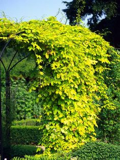 Golden Hops. New foliage is bright gold, old chartreuse.  Vine dies back to the ground each year which makes it easy to stain or paint the wood structures it's growing on. Drought tolerant.