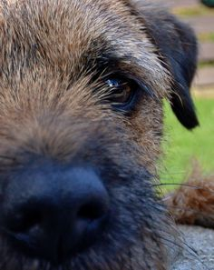 He's looking at you boarder terrier