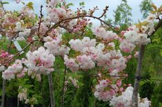 Small tree with wide spreading branches, good shade tree. Double pink flowers open to white hanging on long stalked clusters,Oct-Nov. Prunus, Dream Garden, Moonlight, New Zealand, Cherry, Flowers, Pink, Landscape Designs, Shrubs