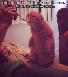 Too cute...and strange.  #cats #icecream