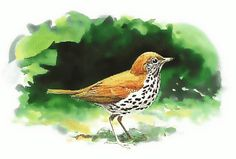The Wood Thrush