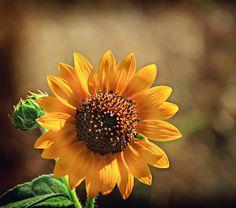 California Sunflower - by Shawn McMillan ~Photo