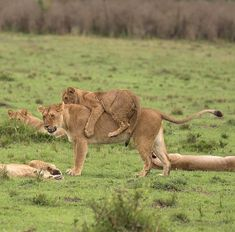 Hitching a ride Maasai Mara style - II. Animals And Pets, Baby Animals, Cute Animals, Beautiful Cats, Animals Beautiful, Big Cats, Cute Cats, Gato Grande, Wild Creatures