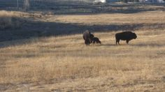Bear River State Park has a new bison calf, born 4/4/2015. Both mom and baby seem to be doing well.