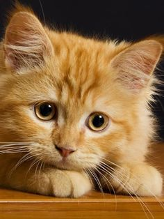 Scientists have found that different genetic combinations can affect the color, pattern, and length of a cat's fur. But what does that mean for orange cats? Are all orange cats male? Pretty Cats, Beautiful Cats, Animals Beautiful, Ginger Kitten, Ginger Cats, Cute Cats And Kittens, Kittens Cutest, I Love Cats, Chat Beige
