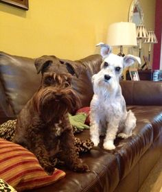 Reesee and Bella. Miniature Schnauzers.