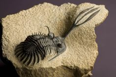 Trilobite In Exquisite Detail Out Of Place Artifacts, Dinosaur Fossils, Extinct Animals, Cool Rocks, Prehistoric Creatures, Rocks And Minerals, Natural Forms, Natural History, Jaguar