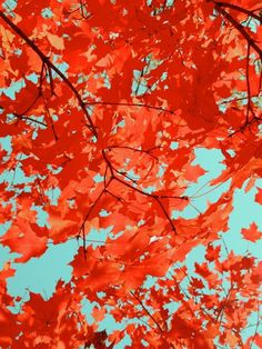Nature Autumn photograph - Red Autumn Foliage on Turquoise - Wall Art - Fall Wall Art - Autumn Tree - Nature Art Photograph Autumn Nature, Autumn Trees, Lake Photography, Landscape Photography, Turquoise Wall Art, Purple Succulents, Floral Watercolor, Fine Art Prints, Luster