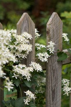 Clematis on fence.a FAVORITE of mine.hardy, beautiful and it smells SO goodAutumn Clematis on fence.a FAVORITE of mine.hardy, beautiful and it smells SO good Beautiful Gardens, Beautiful Flowers, Rare Flowers, Sweet Autumn Clematis, Rustic Fence, Country Fences, Wooden Fence, Brick Fence, Pallet Fence