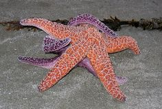 La estrella de mar más bello del mundo